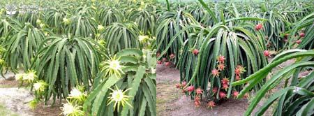 Vườn Thanh Long đang ra hoa và Thanh Long có quả