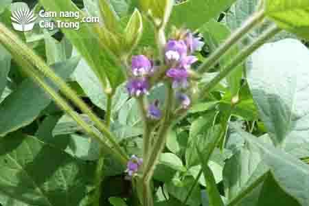 Thân và hoa cây đậu tương