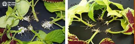 Auxin kích thích ra rễ