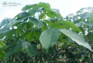 Giai đoạn 4: Lá có màu xanh đậm, phiến lá dày bình thường, đạt kích thước cố định, lá xòe ngang ra (tầng lá ổn định)