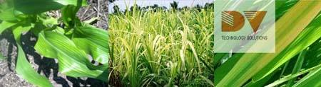 Triệu chứng thiếu Mangan trên cây ngô, mía và lúa