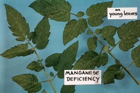 Biểu hiện cây trồng thiều Magan thể hiện trên lá cây