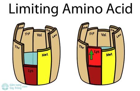 Nguyên tắc tối thiểu Amino Acid (Axit amin)