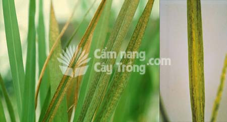 Cây lúa bị ngộ độc sắt