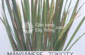Lúa bị ngộ độc mangan