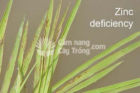Triệu chứng thiếu kẽm trên lá lúa