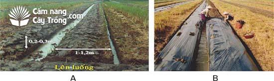 (A) Lên luống trồng dưa hấu; (B) Đậy màng phủ nông nghiệp cho dưa.