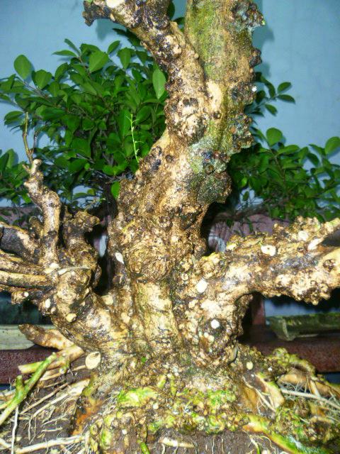 Trung nu, nu Gò Công hay nu sọ khỉ (mặt khỉ)
