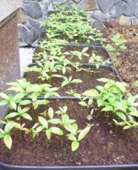 cây mai vàng sau 2 tháng