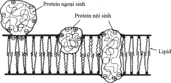 Hình 4 Mô hình màng sinh học