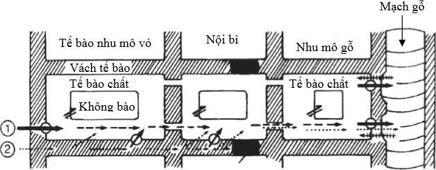 Mô hình chuyển vận ion vào trong mạch gỗ (1) vận chuyển xuyên qua tế bào và (2) vận chuyển trong khoảng gian bào