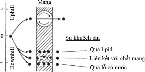 Hình 6 Mô hình vận chuyển chủ động và thụ động chất tan qua màng tế bào