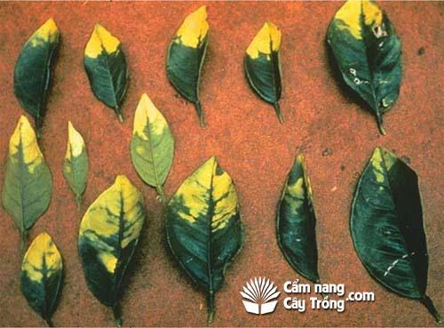 Phân urê có thể chứa Biuret, chất độc đối với cây có múi và gây ra các triệu chứng thiếu hụt vi lượng