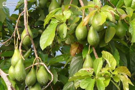 Persea drymifolia