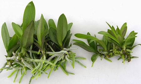 Phân loại cây lan (hình minh họa)