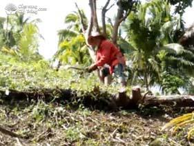 Phát dọn cỏ cây trồng bơ