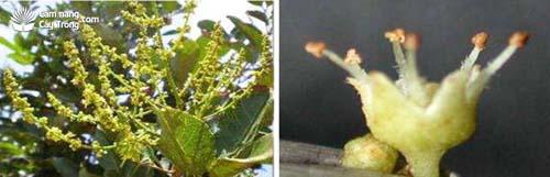 Phát hoa của cây chôm chôm và Hoa đực