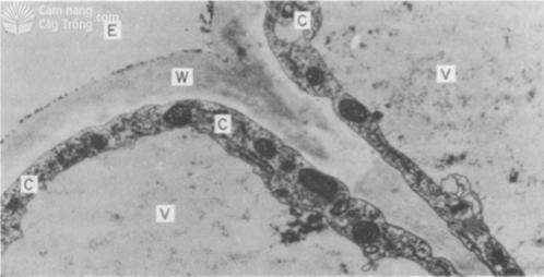 Hình 3 Phẩu diện tế bào ngoại bì rễ bắp