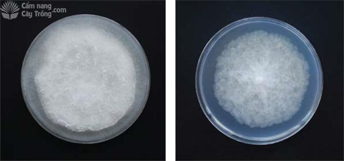Pythium sp. (trái) và Phytophthora sp. (phải)
