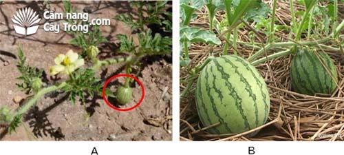 (A) Để trái trên dây dưa; (B) trái dưa phát triển.
