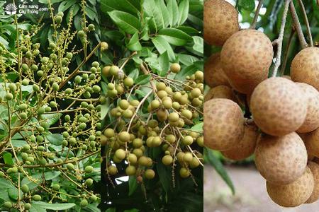 Sự phát triển của quả nhãn trên cây