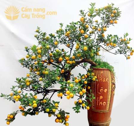 Một cây quất bonsai thế long thăng