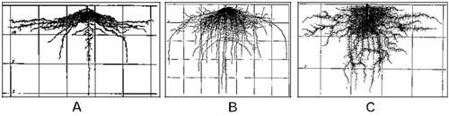 Rễ bắp cải