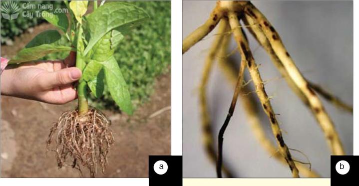 Hệ thống rễ cây bị phá hủy do: (a) tuyến trùng nốt sưng, (b) tuyến trùng gây loét rễ, cả hai bệnh đều làm cây còi cọc và vàng lá