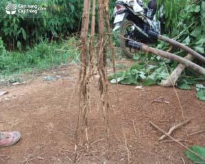 Rễ cọc của cây cao su sau trồng 1 năm, ăn sâu 80 – 100 cm