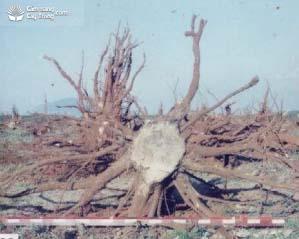 Bộ rễ cây cao su sau trồng 30 năm