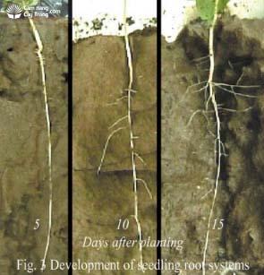 Rễ cọc của cây cao su sau trồng 5, 10 và 15 ngày