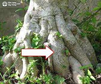 Bộ rễ cây mai chiếu thủy