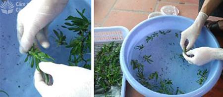 Rửa sạch môi trường bám trên lan nuôi cấy mô