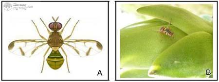 ruồi đục quả (Bactrocera spp.) thanh long