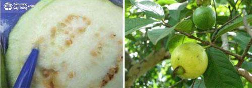 Dòi nở trong trái ổi và triệu chứng trên trái ổi