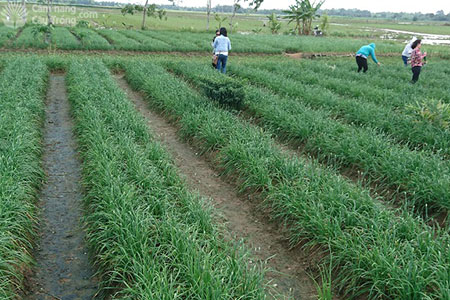 Ruộng trồng hẹ