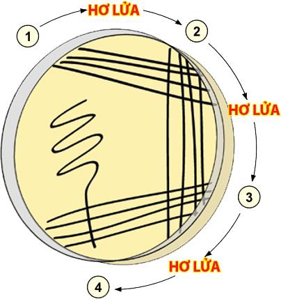 Sơ đồ minh họa đĩa cấy vi khuẩn, cho thấy thứ tự các vạch cấy và hơ lửa khử trùng que cấy giữa các bước