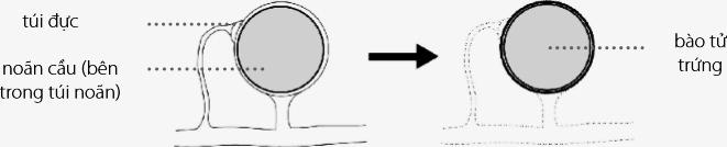 Sơ đồ minh họa quá trình sinh sản hữu tính ở Pythium