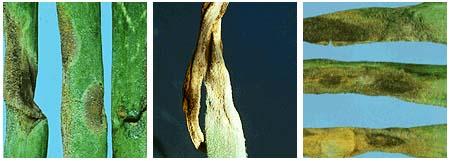 Triệu chứng bệnh sương mai trên lá và trên củ hành, tỏi 2