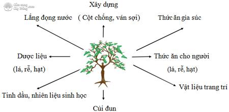 Tác dụng của cây chùm ngây