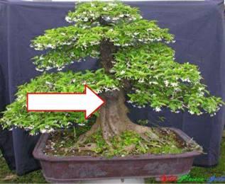 Thân cây mai chiếu thủy