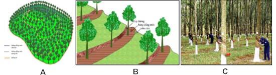 Hình 2: (A) Thiết kế lô trồng theo địa hình; (B) Thiết kế hàng trên đất dốc; (C) Mật độ và khoảng cách trồng hợp lý.