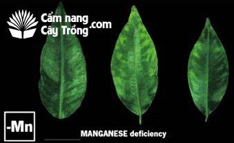 Cây thiếu vi lượng mangan