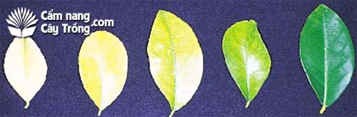 Triệu chứng thiếu sắt trên cây chanh