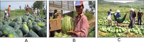 (A) Thu hoạch trái dưa; (B) Dưa hấu loại 1; (C) Thu hoạch và chuyển đi.