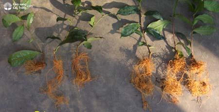 Bộ dễ cây chè đối chứng (trái) và bộ rễ cây chè được bổ sung vi lượng đất hiếm (phải)