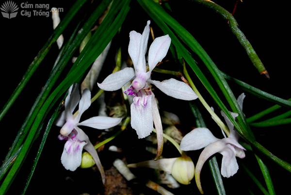 Tóc tiên Bắc (Holcoglossum lingulatum)