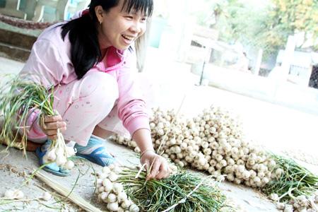 Mùa thu hoạch tỏi của nông dân phường Mỹ Bình, Tp. Phan Rang - Tháp Chàm.