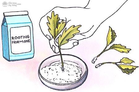 Transplantone chất kích thích ra rễ cực mạnh ABT 生根粉
