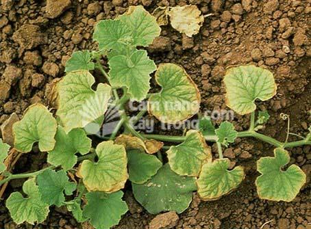 Thiếu molypden, xuất hiện đốm vàng ở giữa các gân của những lá dưới, nếu thiếu nặng, các đốm này lan rộng và khô, mép lá cũng khô dần, cây kém phát triển.